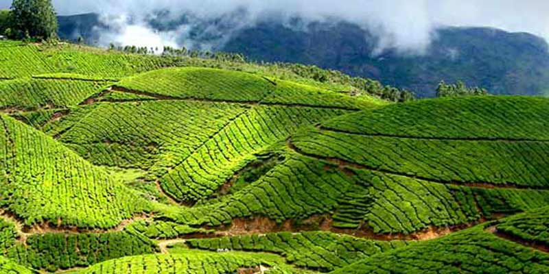 Tea Gardens and Valley